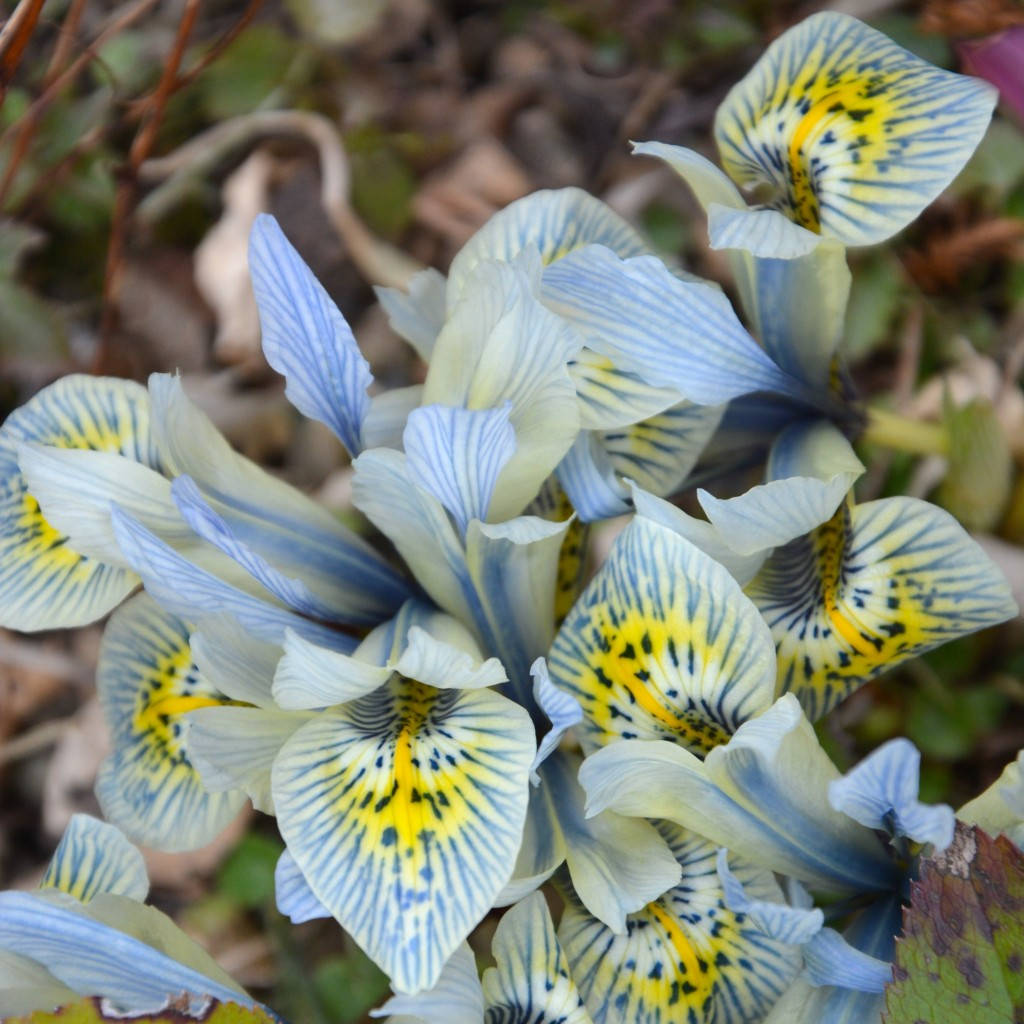 Unusual irises