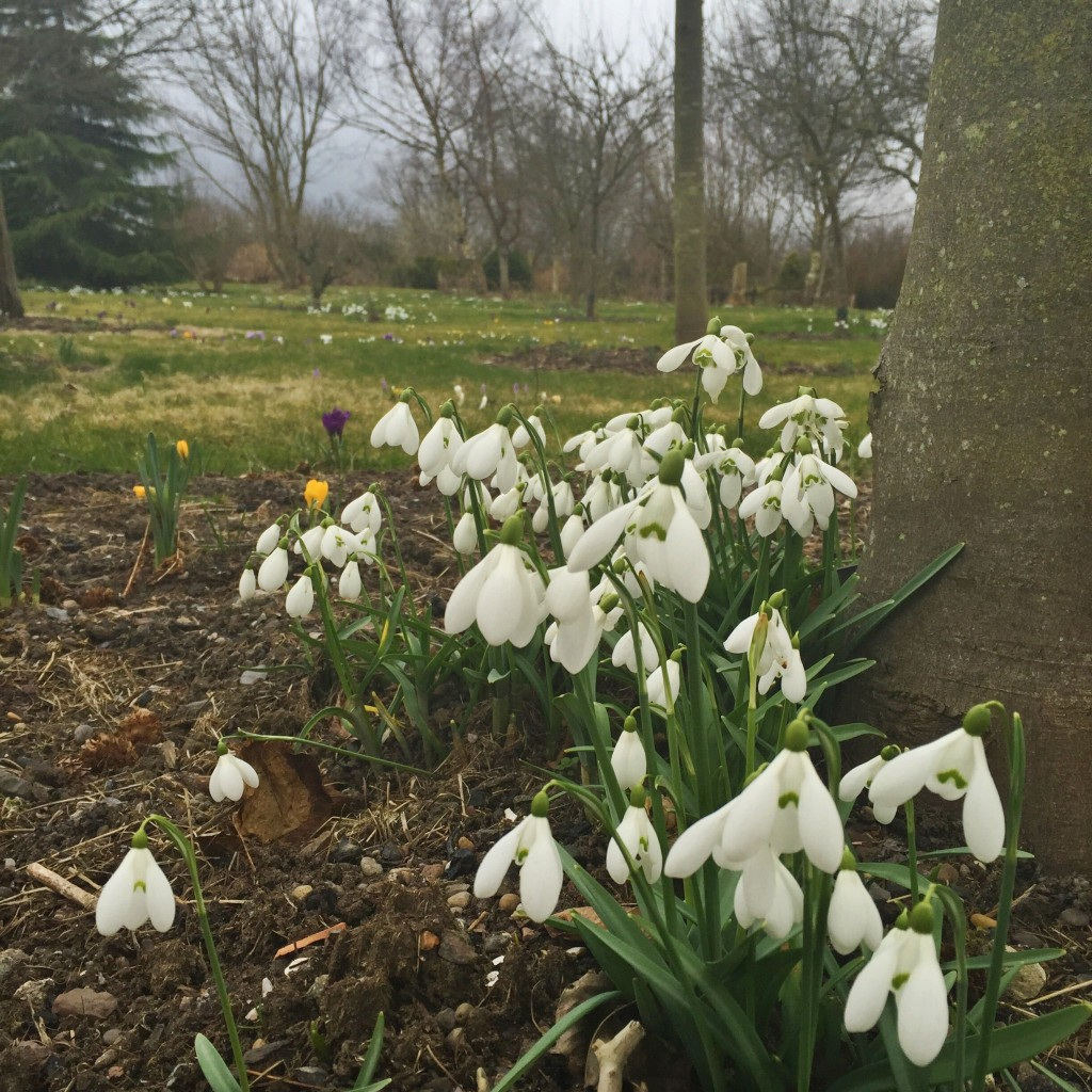 Snowdrops under the trees