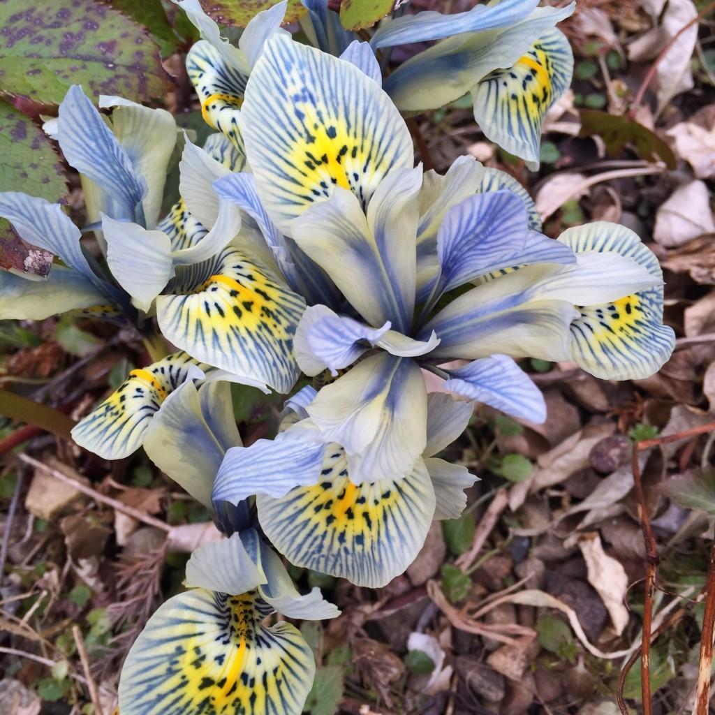 Love this iris!