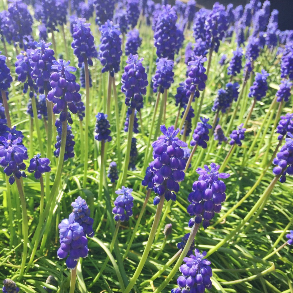Vibrant purple spring blooms