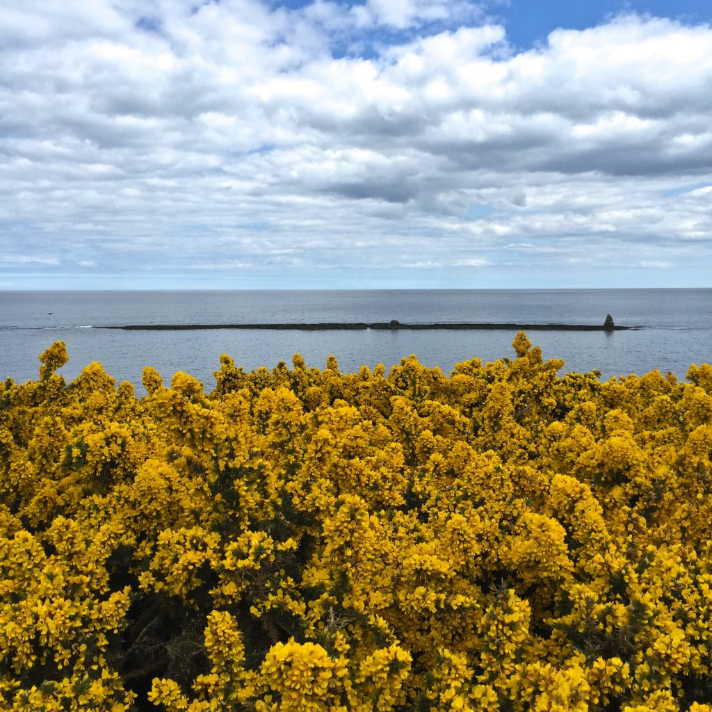 Glorious gorse!