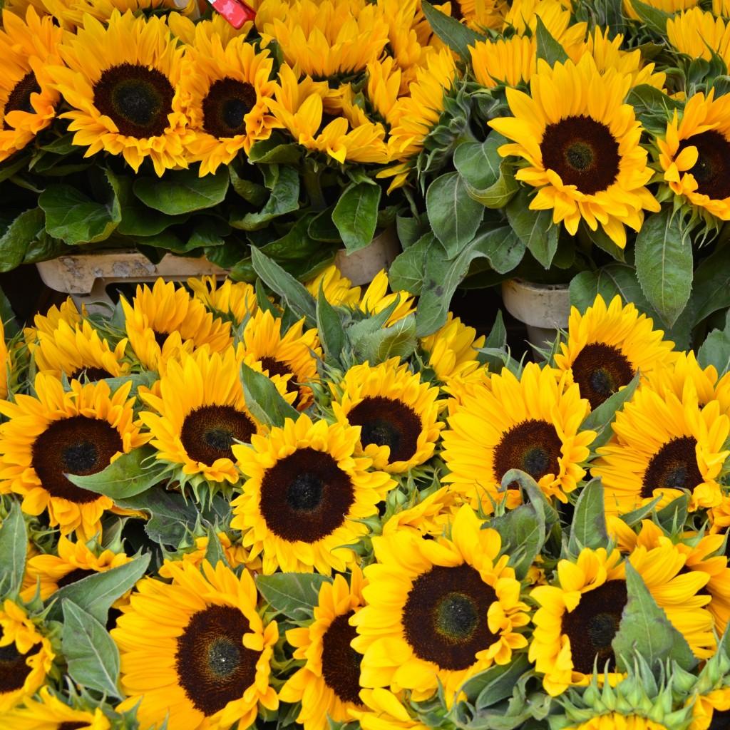A sea of sunflowers | Hello! Hooray!
