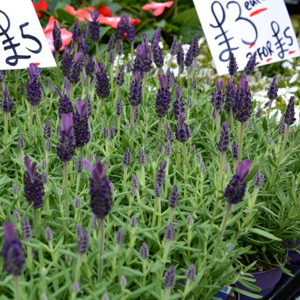 Lavender | Hello! Hooray!