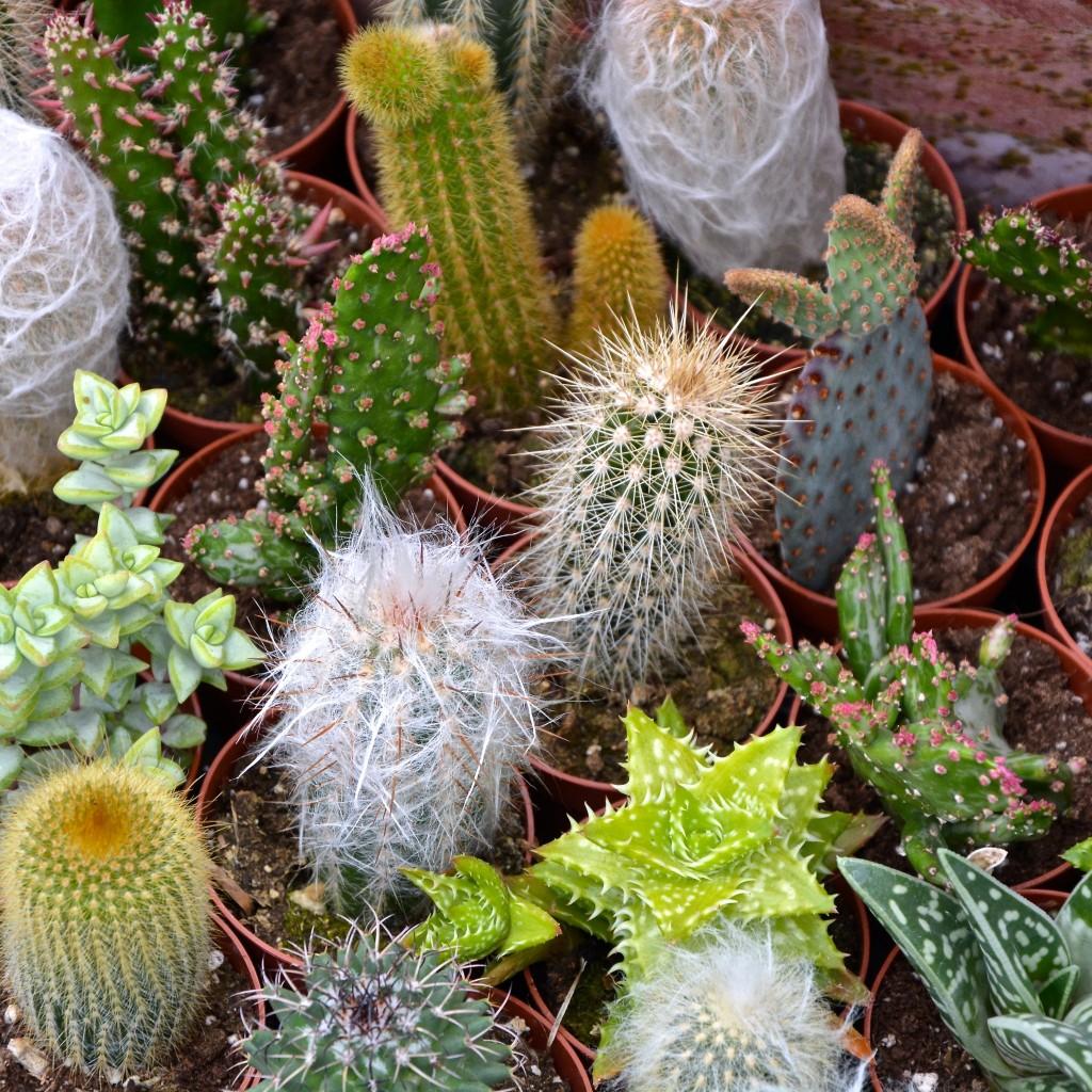 Cacti | Hello! Hooray!