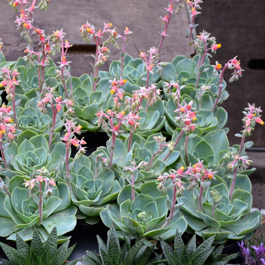 Flowering succulents| Hello! Hooray!