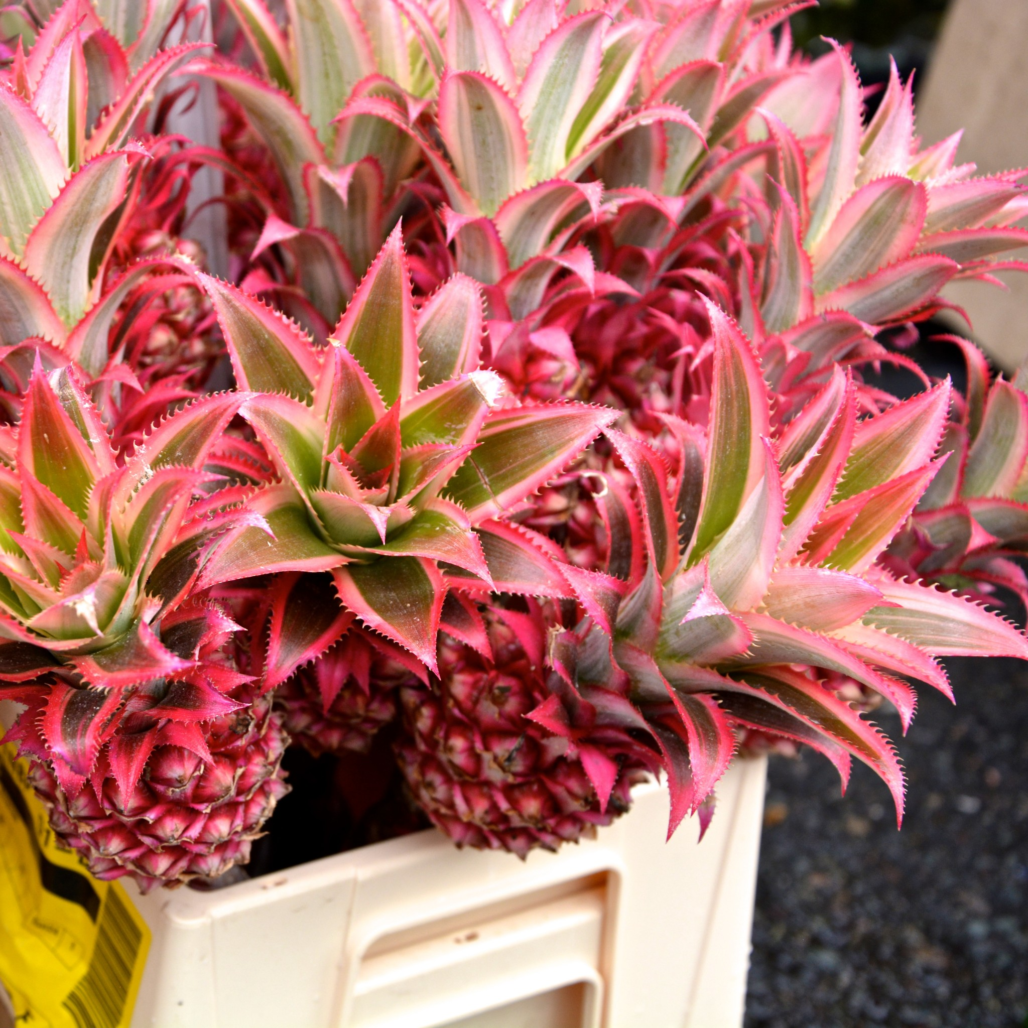 Pink pineapples!| Hello! Hooray!