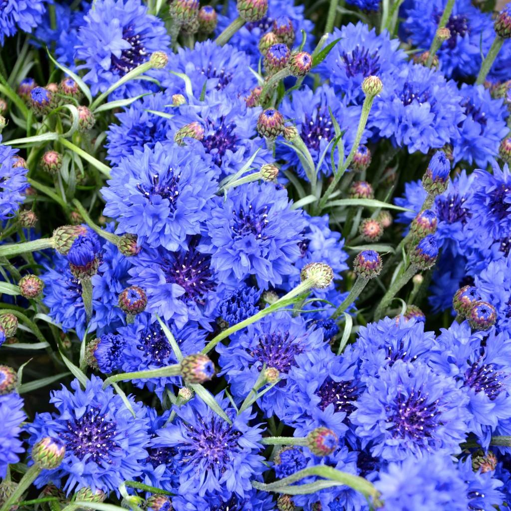 Vivid blue cornflowers| Hello! Hooray!
