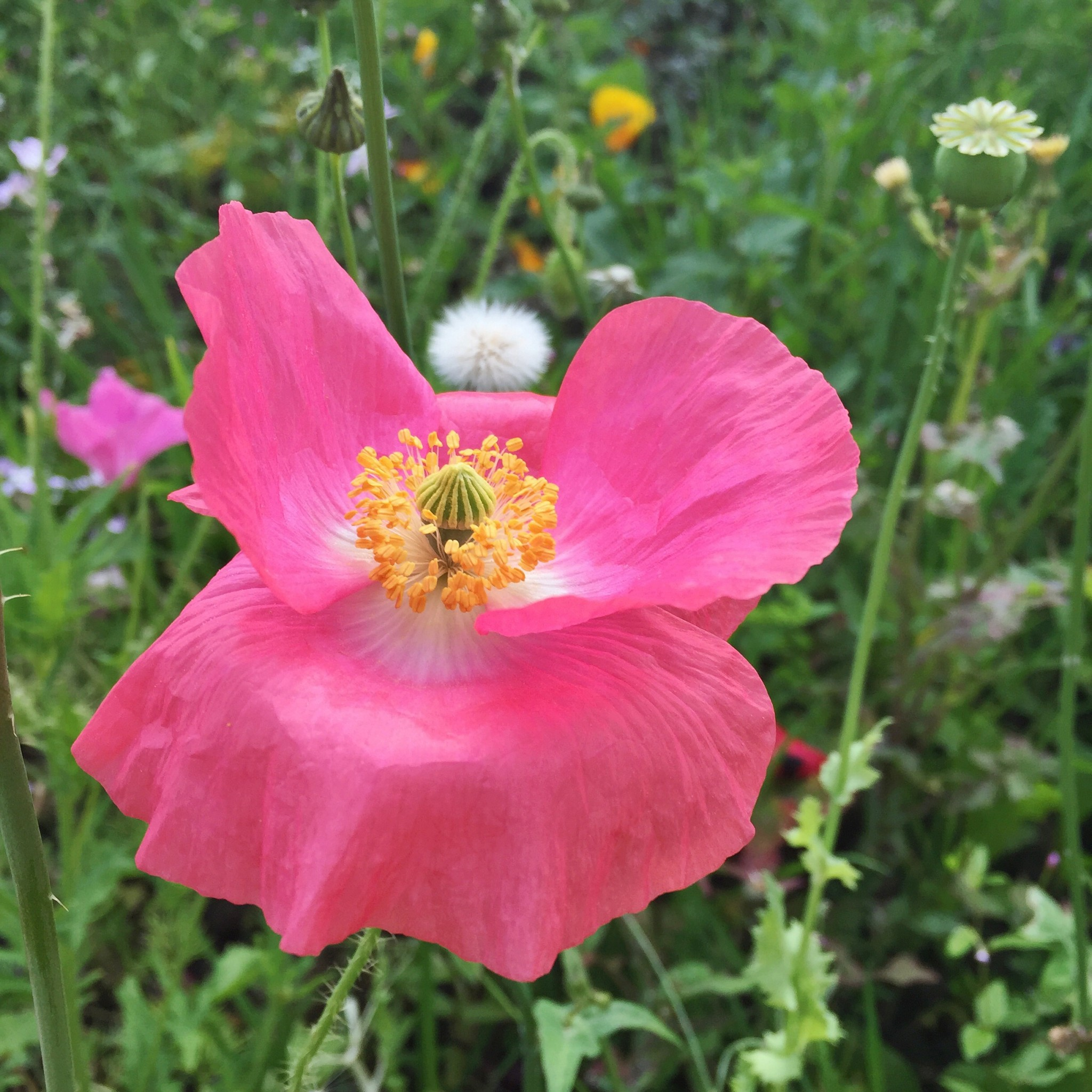 Pink poppy | Hello! Hooray!